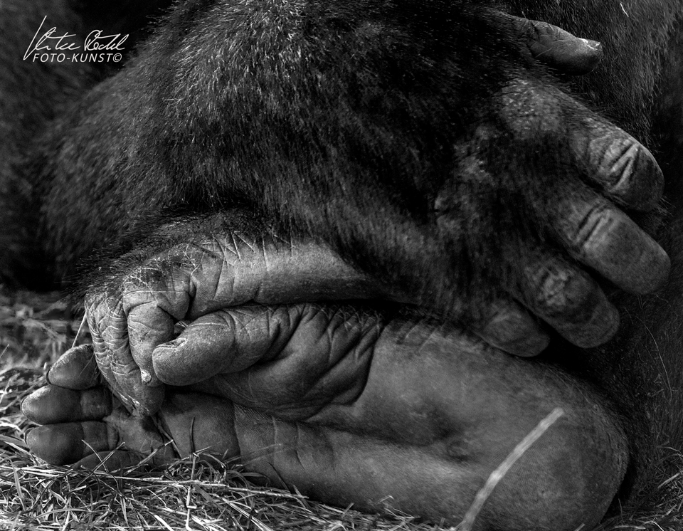 gorillahändeswWZ
