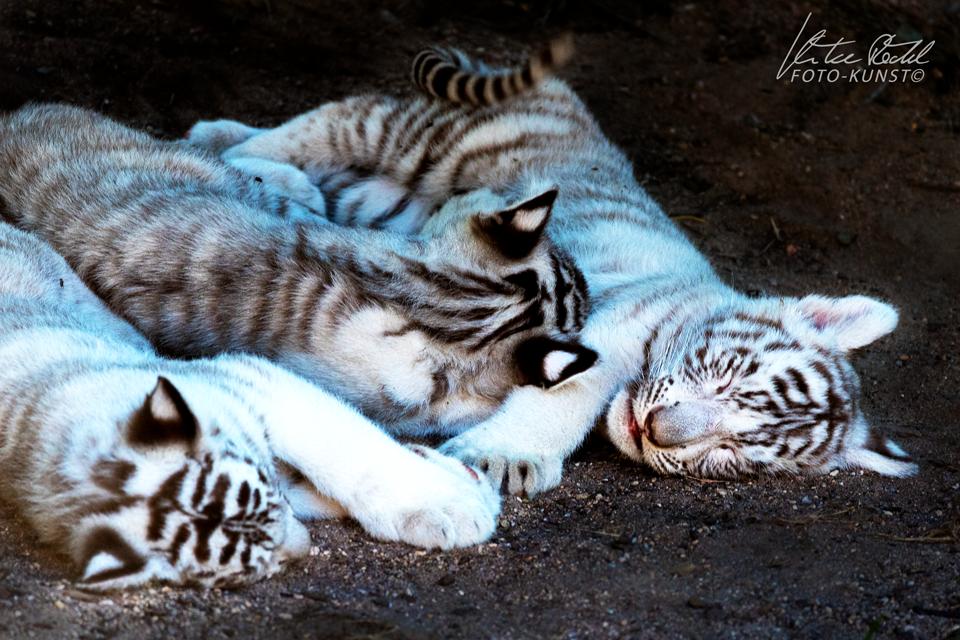 Junge weisse Tiger