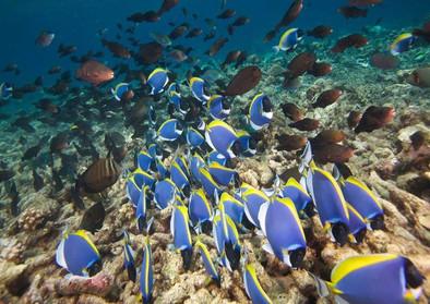 hurawalhi_maldives_snorkelling_surgeon_f