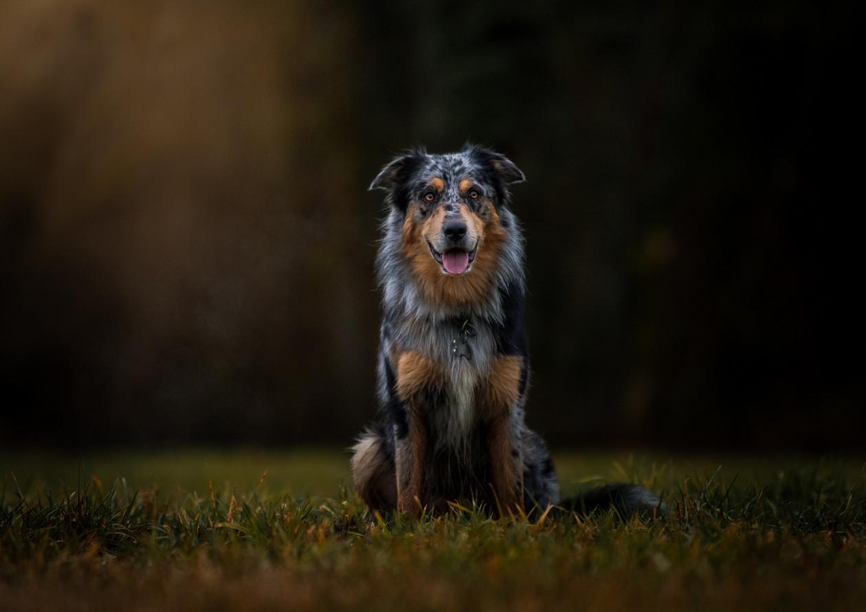 Australian-Shepherd 2