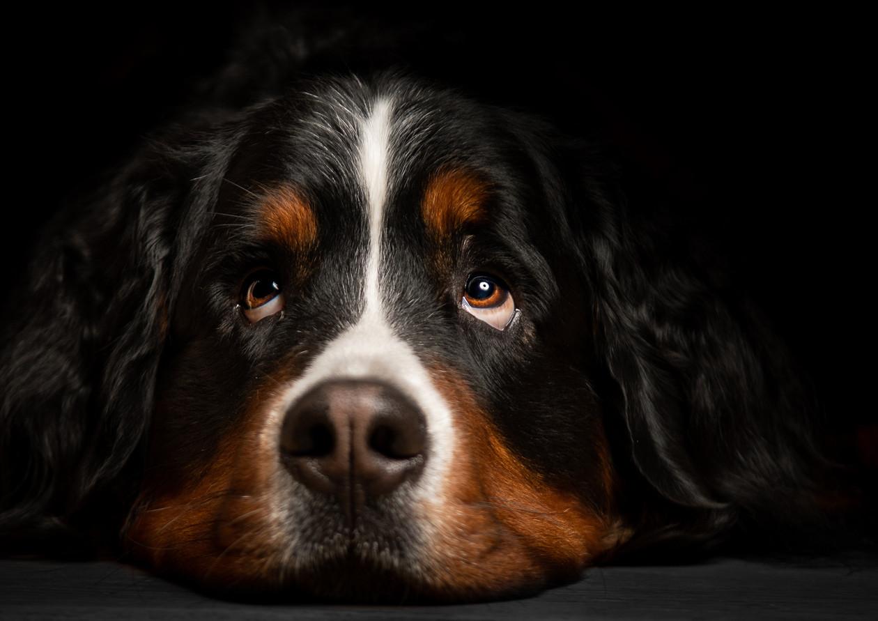 Berner Sennenhund 1