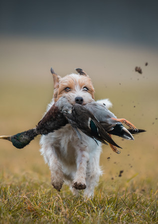 Parson-Russell-Terrier 2