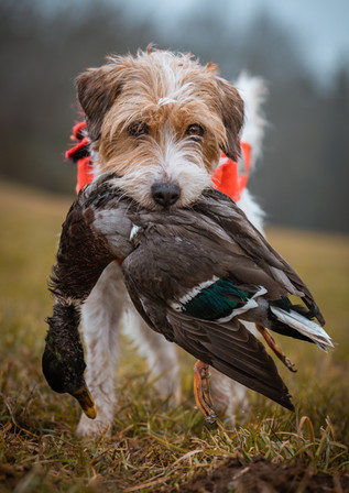 Parson-Russell-Terrier 1