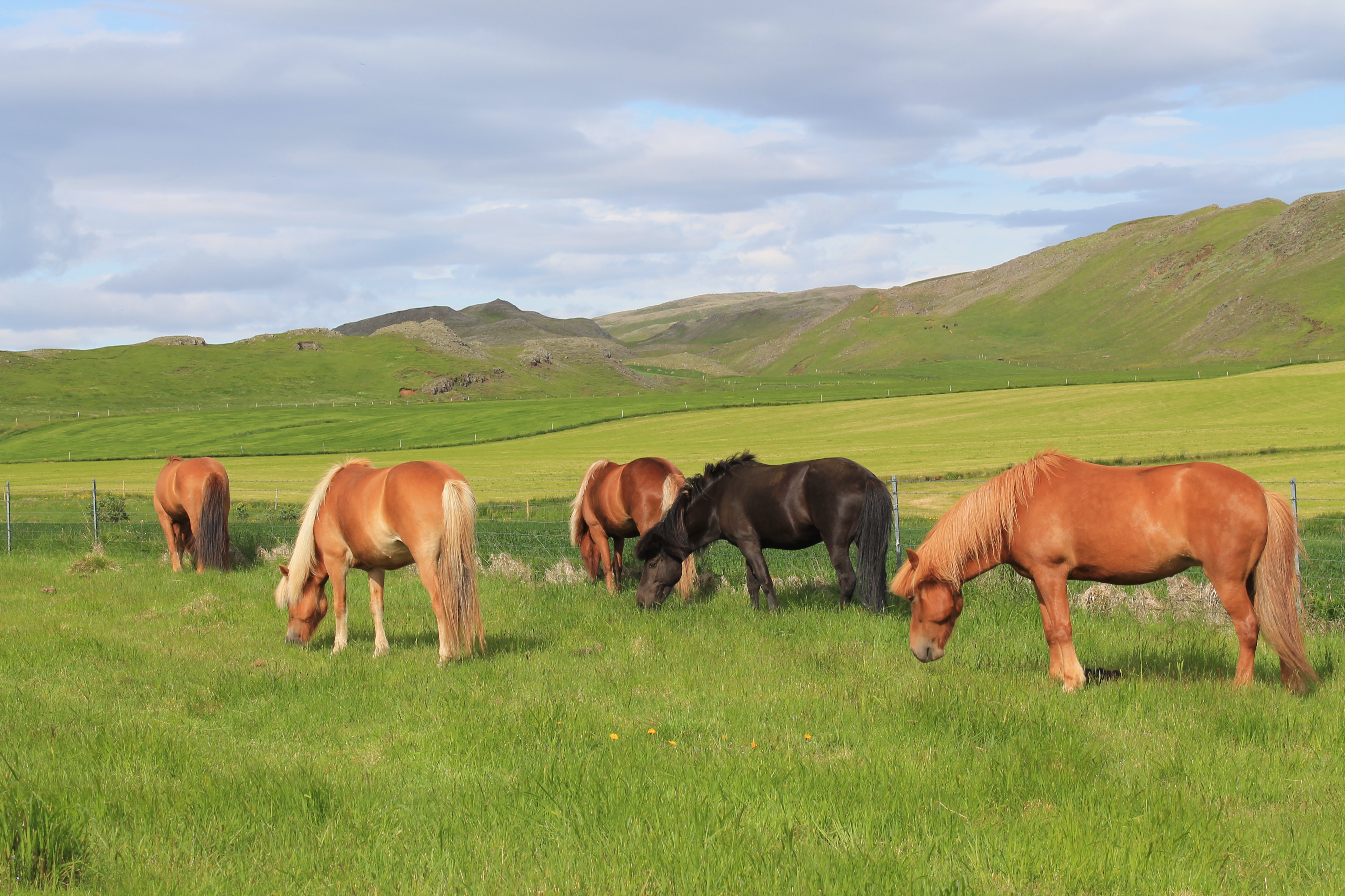 caballos islandia