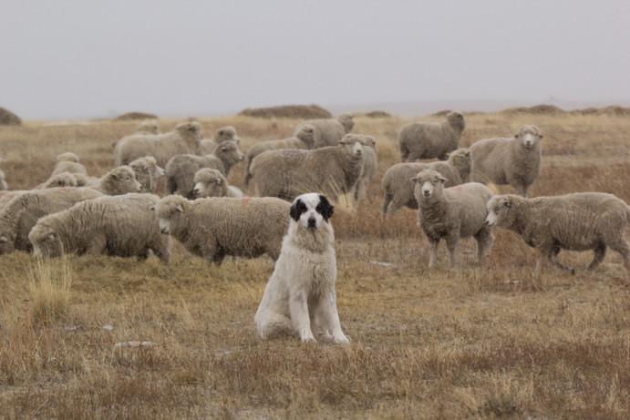 Malevo, perro protector
