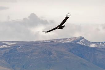 Cóndor volando