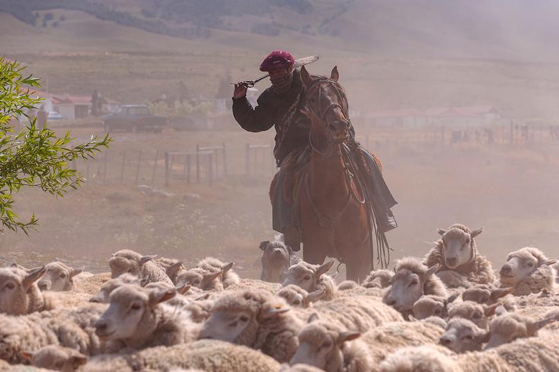 Gaucho arreando ovejas, Estancia cerro Guido