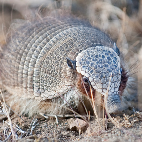 Armadillo  (Chaetophractus villosus)
