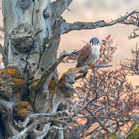 Cernícalo (Falco sparverius) / American Kestrel
