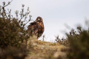 Águila juvenil