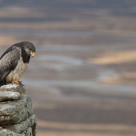 Águila (Geranoaetus melanoleucus) / Buzzard eagle