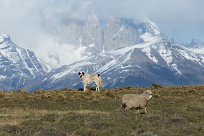 Malevo y oveja