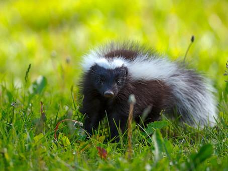 Chingue (Conepatus humboldt) / Skunk