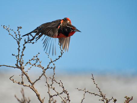 Loica (Sturnella loyca) / Long-tailed meadowlark