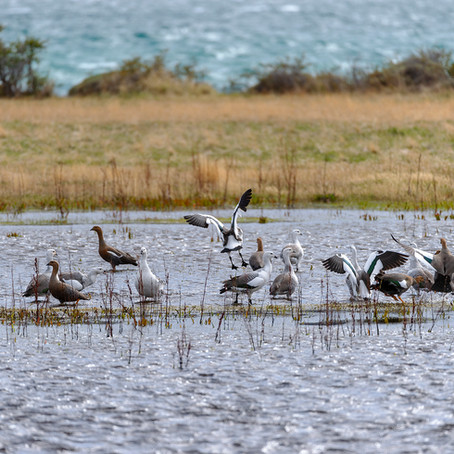 Caiquén (Chloephaga picta) / Upland Goose