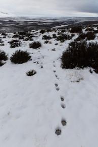 Huellas de puma en la nieve