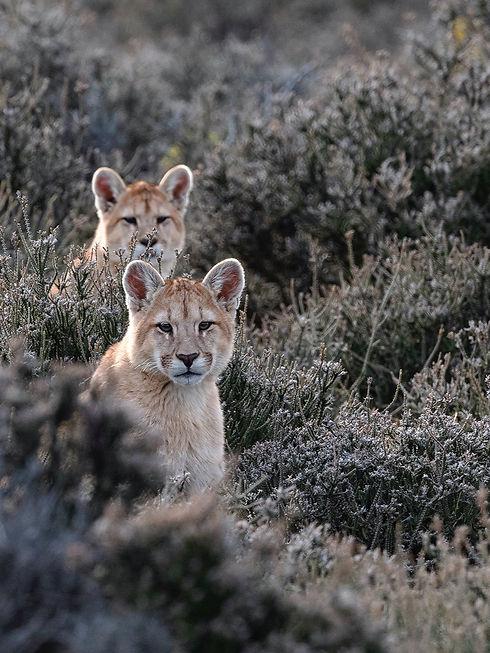 Pumas cachorros raya, Pia Vergara - Conservacion Estancia Cerro Guido