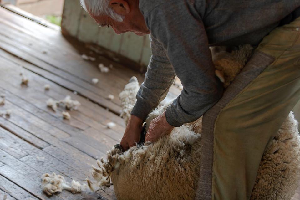 Esquilando oveja, Estancia Cerro Guido