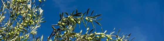 branche d'olivier, olives vertes