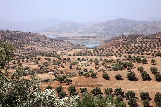 champ d'oliviers au Maroc