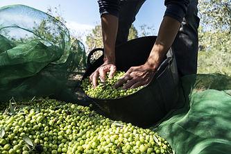 récolte des olives par un homme