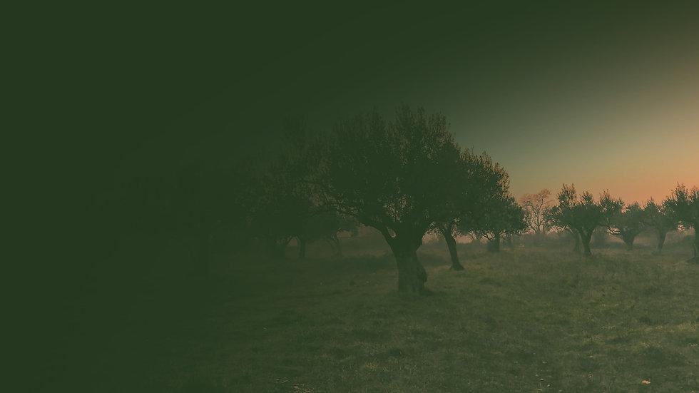 olivier au crépuscule