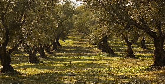 champ d'oliviers sous le soleil