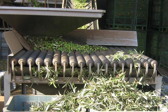 tri mécanique des olives à travers une machine.