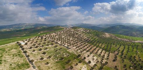 champ d'olivier au maroc; paysage ensoleillé