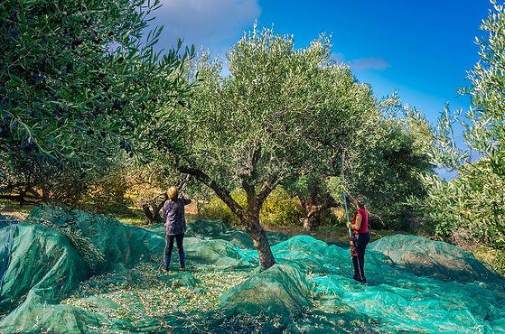 récolte des olives, femmes qui travaillent dans les champs d'olivier pour faire tomber les olives