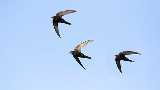 swifts-apus-apus.jpg