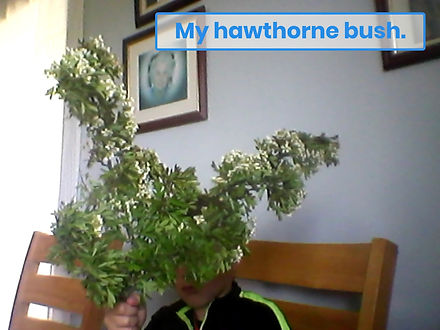 David's Hawthorn Bush with Blossom.jpg
