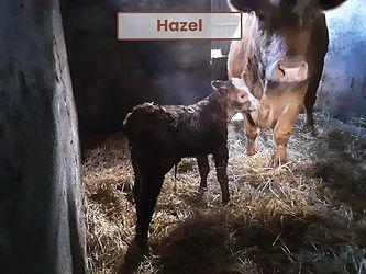 Emily's calf Hazel.jfif
