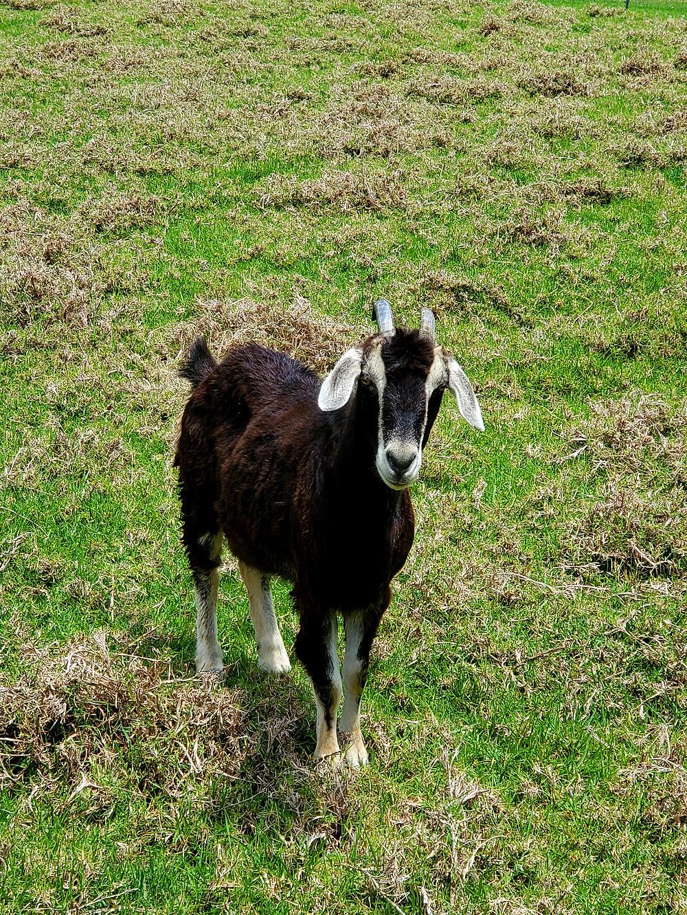 Koza Gracie - towarzyszy mi podczas kwarantanny. Fot. Mariola Johnson