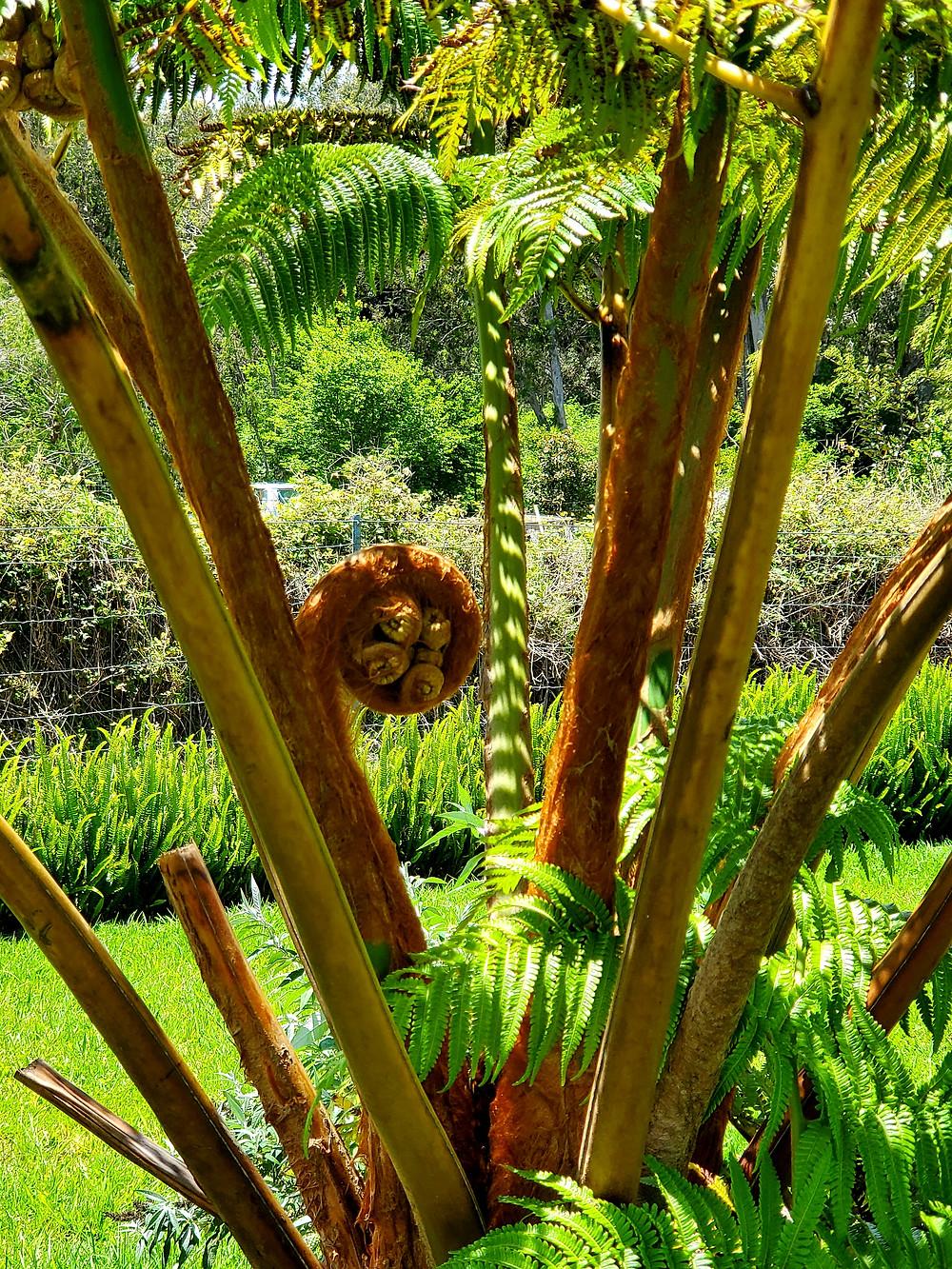 Z mojego ogrodu: drzewo paprociowe (hapu'u). Fot. Mariola Johnson
