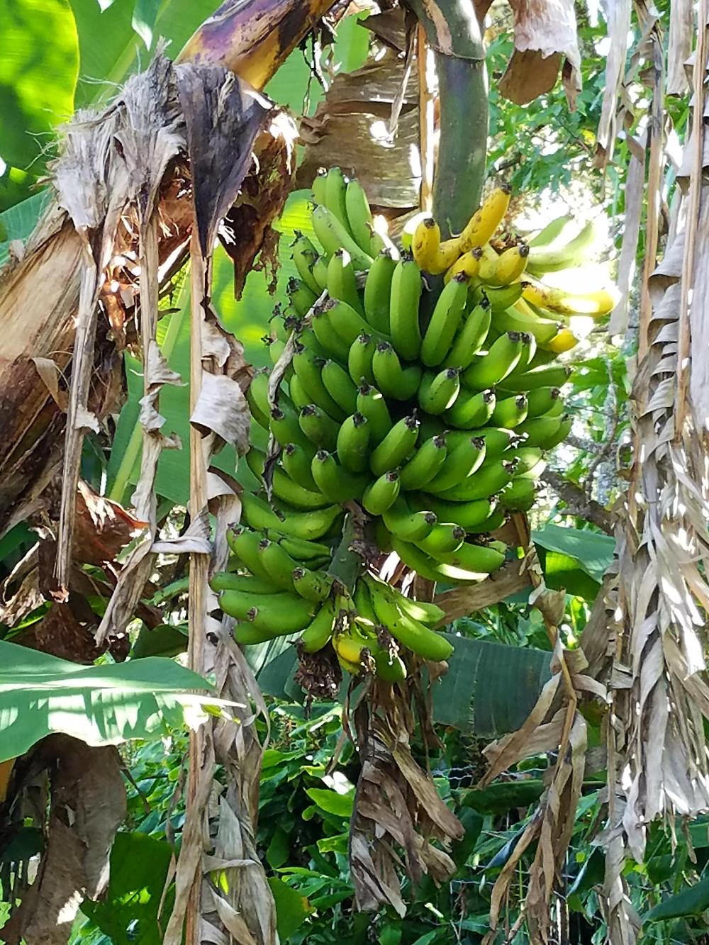 Banany z mojego ogrodu. Gotowych do zerwania kiści jest w chwili obecnej aż dziewięć. Fot. Mariola Johnson