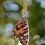Thumbnail: Painted Lady Wing Necklace