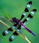 Twelve-Spotted%2520Skimmer%2520Dragonfly