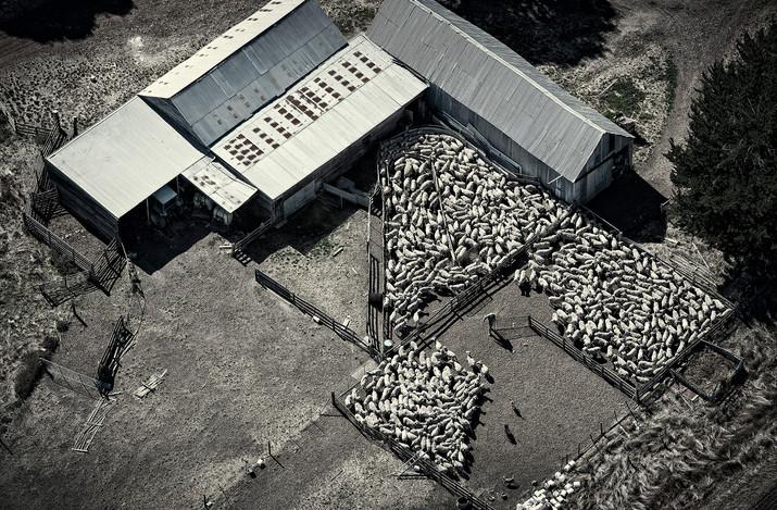 Sheepfp.jpg