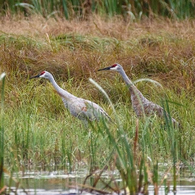 Sandhill Cranes looking for breakfast on