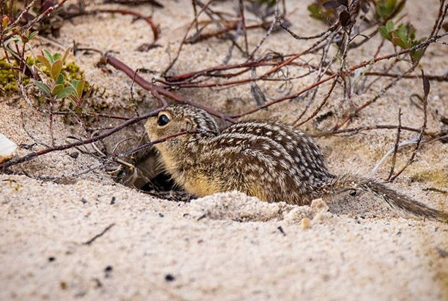 This little ground squirrel was hopping