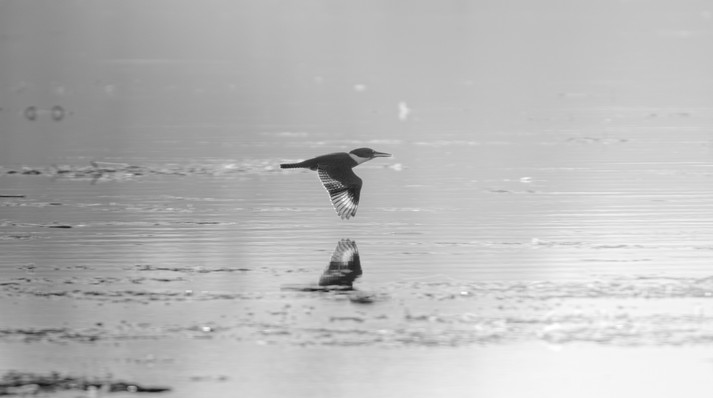 Belted Kingfisher Over the River
