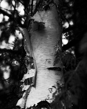 Birch Bark in Black and White