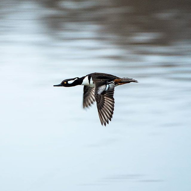 A Goldeneye caught midair