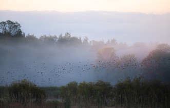 Blackbirds Awakening