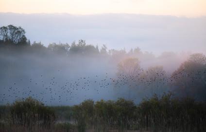 Blackbirds Awakening