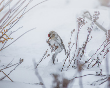 Redpoll Attached