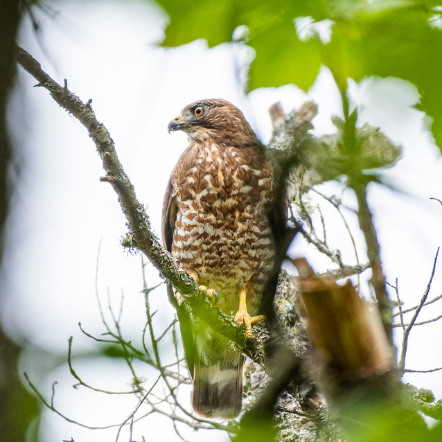 Broad-Winged Hawk on the Treetop