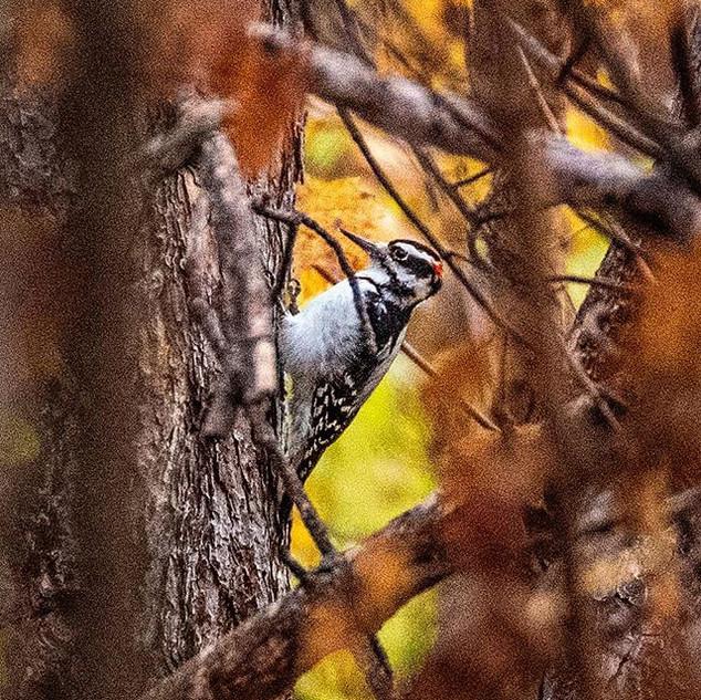 A male Downy Woodpecker was making a bun