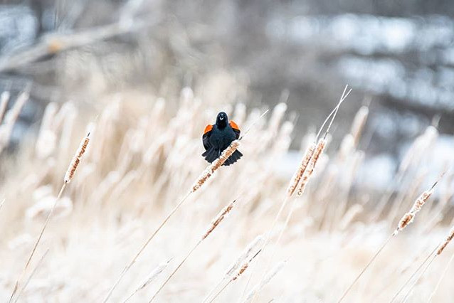 A very common bird; the red-winged black